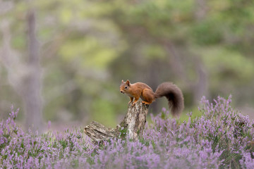 Red Squirrel, perched on tree stump surrounded by purple heather