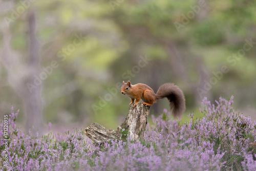 Wiewiórka czerwona, siedzący na pniu drzewa otoczony fioletowym wrzosem