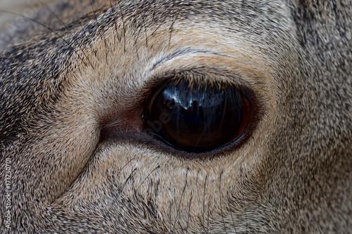 The eye of the deer плакат