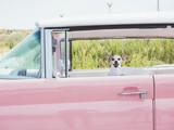 chihuahua in the classic car
