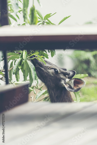 wild sambar deer in Khao Yai National park, Thailand Poster