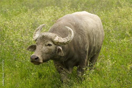 Fridge magnet Single Water Buffalo in a Green Field