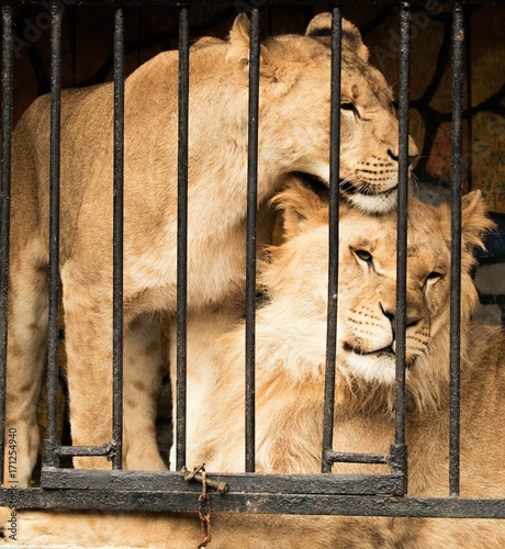 Fotobehang Lion lion in a cage