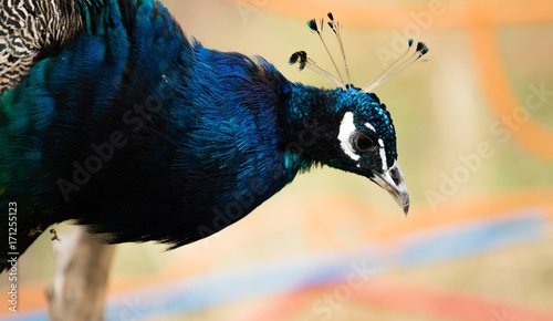 Fotobehang Pauw the head of a peacock bird