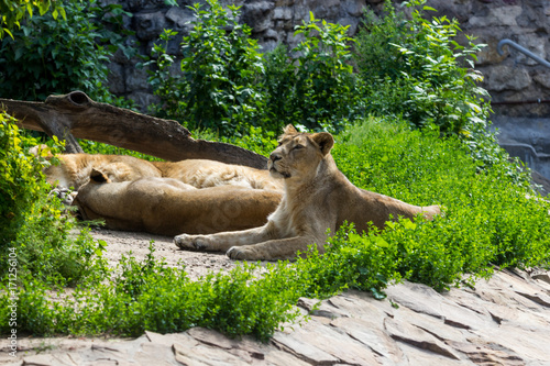 pride rests before the hunt, young male Asian lion and female Canvas Print