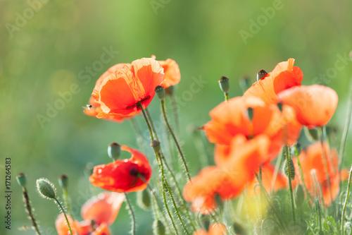 Foto op Plexiglas Klaprozen Poppy in a meadow