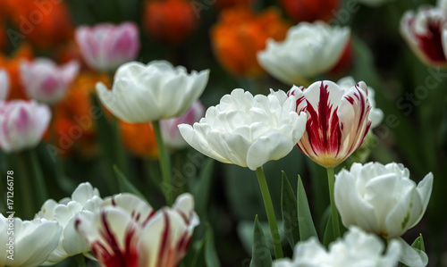 Fototapeta  Tulip flowers, Singapore Gardens by the Bay