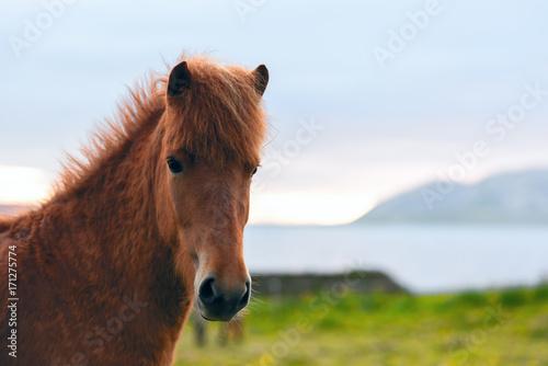 Icelandic horse portrait Poster