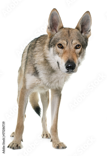 Aluminium Wolf czechoslovakian wolf dog