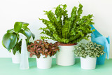 houseplant Asplenium nidus, peperomia and fittonia in flowerpot - 171287765
