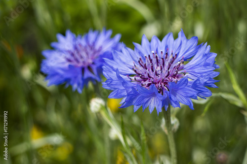 Papiers peints Kiev Blue cornflower