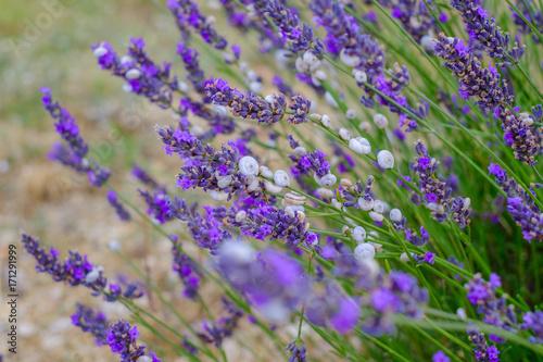 Aluminium Lavendel Petits escargots blac sur les fleurs de lavande.