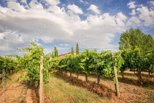 Spoed canvasdoek 2cm dik Toscane Vineyard in Tuscany near Montepulciano, Italy