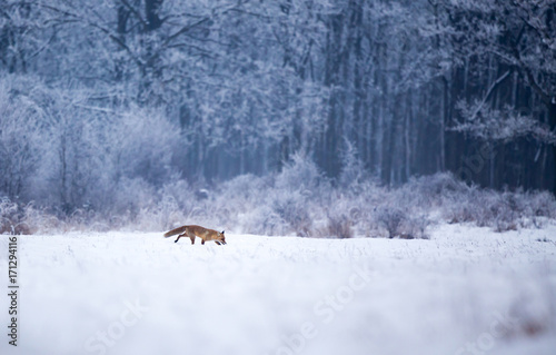 Red fox walking in forest on snow Poster