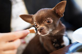 Cute brown chihuahua dog going to eat in restaurant