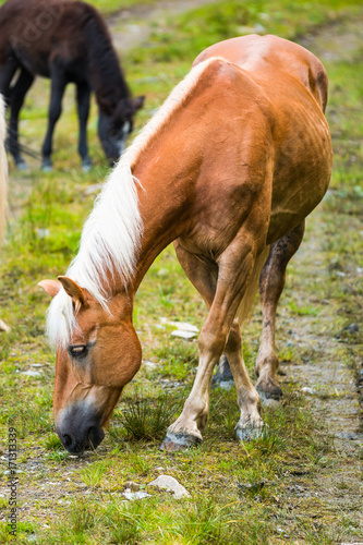 Wild horses in forest of Austria