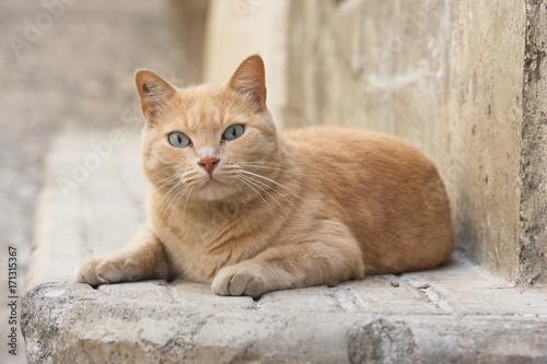 gatto arancione che guarda Poster