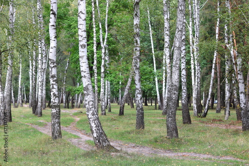 Fotobehang Berkenbos Beautiful birches in forest in early autumn