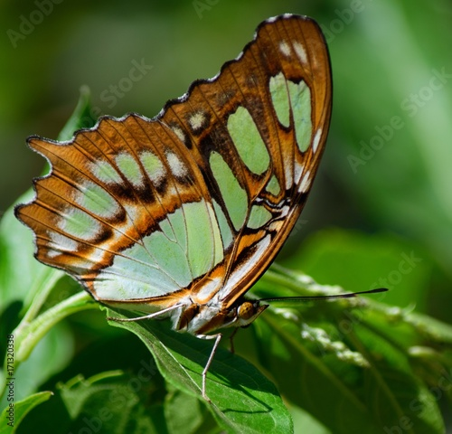 Fotobehang Vlinder malachite butterfly