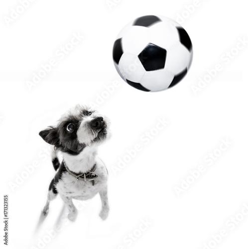 Fotobehang Crazy dog soccer poodle dog