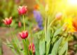 Sun and tulips