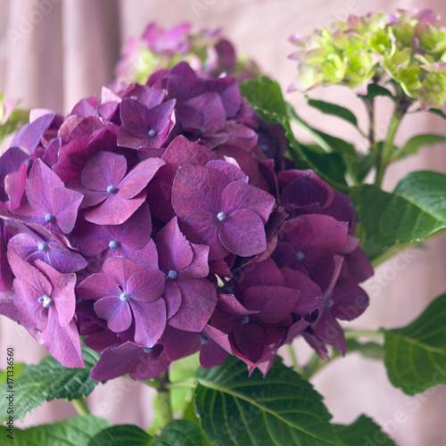 Fotobehang Natuur Violet hydrangea.
