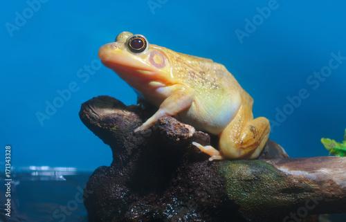 Fotobehang Kikker yellow frog amphibian nature animal wildlife species environment swamp pond