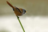 Bearded reedling. Panurus biarmicus - 171348978