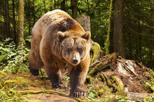 canadian brown bear moving in the forest
