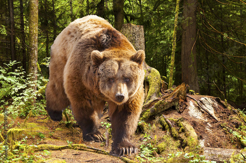Plakat canadian brown bear moving in the forest