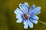bee on a blue flower - 171357716