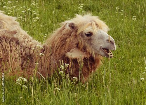 Foto op Plexiglas Gras Camel on green grass, summer