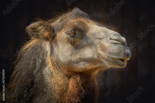 Fotobehang Kameel Portrait of Camel