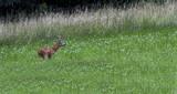 European roe deer, capreolus capreolus, Switzerland - 171367795