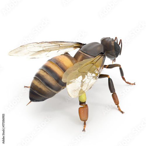 insect honey bee isolated on white. 3D illustration
