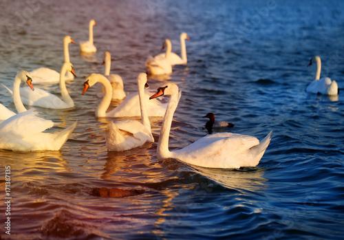 Fotobehang Zwaan Photo of wonderful swans