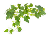 Branch of hops with leaves and seed cones - 171394942