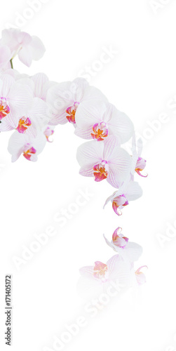 Papiers peints Moscou White and pink orchid on white