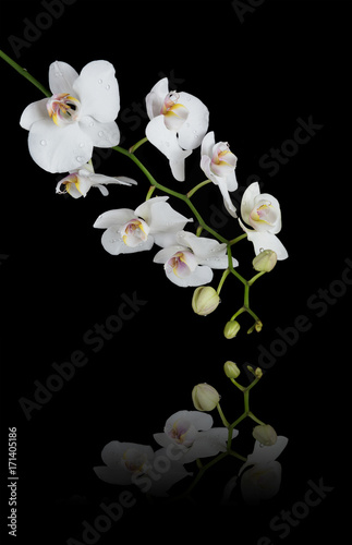 White Orchid on a black background - 171405186