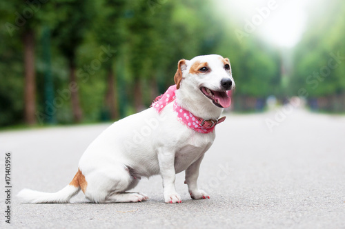 funny Jack Russell Terrier dog is walking in the park