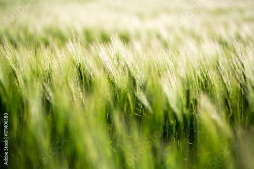Wall mural Barley green fields