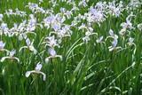 Fototapety Butterfly irises in full bloom in the garden