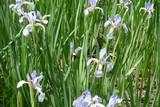 Fototapety Florescence of pale butterfly irises in june