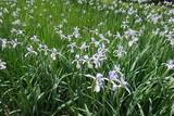 Fototapety Flower garden of mauve blue butterfly irises