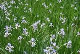 Fototapety Plenty of lilac flowers of Iris spuria