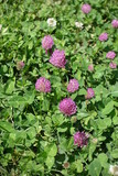 Fototapety Pink flower heads of red clover in the grass
