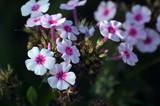 Pink garden phlox - 171418555