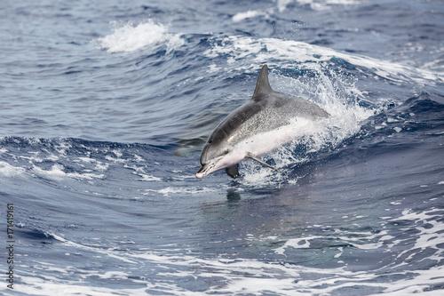 Fotobehang Dolfijn Delfin vor Sao Miguel (Azoren)