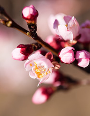 beautiful flowers on apricot branches in nature
