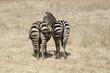 Zebre, posteriori, coppia, Africa, safari, pascolo, Tanzania, lago, erba, savana